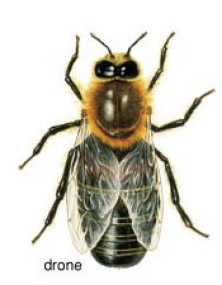 Picture of male bee