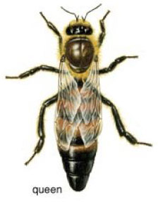 Queen bee image