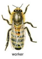Picture of worker bee